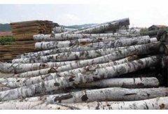 桦木原木板材